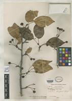 Isotype of Malus theifera Rehder, A. 1915 [family ROSACEAE]