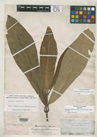 Holotype of Melicope grandifolia Gray, A. 1854 [family RUTACEAE]