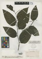 Holotype of Piper hostmannianum var. glabrirameum Trelease, W. & Yuncker, T.G. 1950 [family PIPERACEAE]
