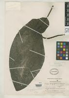 Holotype of Piper longifilamentosum Trelease, W. 1936 [family PIPERACEAE]
