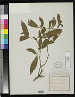 Isolectotype of Trichilia hieronymi Grisebach, A.H.R. 1879 [family MELIACEAE]