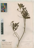 Isotype of Polygala bangiana Chodat, R.H. 1898 [family POLYGALACEAE]