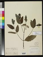 Filed as Apocynum greeneanum Beguinot, A. & Belosersky, N.G. 1913 [family APOCYNACEAE]