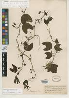 Isotype of Passiflora involucellata Harms, H.A.T. 1894 [family PASSIFLORACEAE]