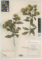 Holotype of Trixis adenolepis Blake, S.F. 1924 [family ASTERACEAE]