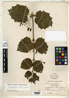 Isotype of Scrophularia franchetiana Tsoong, P.C. 1954 [family SCROPHULARIACEAE]
