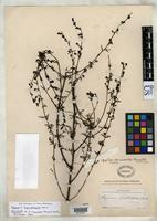 Holotype of Afzelia tenuisecta Pennell, F.W. 1926 [family SCROPHULARIACEAE]