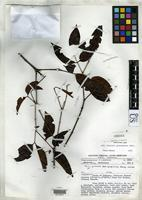 Isotype of Mouriri guianensis subsp. barinensis Morley, T. 1972 [family MELASTOMATACEAE]