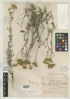 Holotype of Hymenopappus fisheri Wooton, E.O. & Standley, P.C. 1913 [family ASTERACEAE]