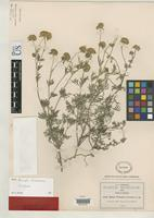 Isotype of Bahia pringlei Greenman, J.M. 1897 [family ASTERACEAE]