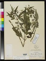 Holotype of Deanea glauca Coulter, J.M. & Rose, J.N. 1900 [family APIACEAE]