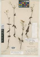 Isotype of Sabazia purpusii Brandegee, T.S. 1903 [family ASTERACEAE]