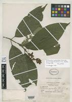 Holotype of Palicourea cyanantha Standley, P.C. 1930 [family RUBIACEAE]