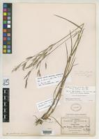 Isotype of Bromus laciniatus Beal, W.J. 1896 [family POACEAE]