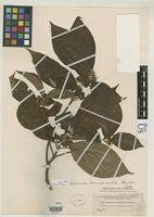Holotype of Sommera donnell-smithii Standley, P.C. 1914 [family RUBIACEAE]