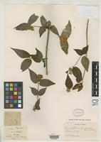 Isotype of Leycesteria sinensis Hemsley, W.B. 1900 [family CAPRIFOLIACEAE]