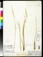 Filed as Stipa thurberiana Piper, C.V. 1900 [family POACEAE]
