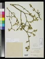 Filed as Phoradendron lanatum Trelease, W. 1916 [family LORANTHACEAE]