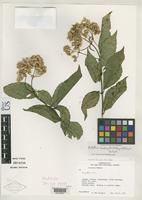Isotype of Bartlettina macdougallii King, R.M. & Robinson, H. 1977 [family ASTERACEAE]