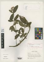 Holotype of Neomirandea gracilis King, R.M. & Robinson, H. 1975 [family ASTERACEAE]