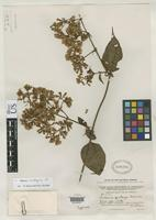 Isotype of Mikania pastazae Robinson, B.L. 1924 [family ASTERACEAE]