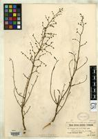 Isosyntype of Scrophularia juncea Richter, C. 1885 [family SCROPHULARIACEAE]