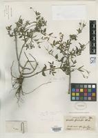 Holotype of Wedelia parviceps Blake, S.F. 1922 [family ASTERACEAE]