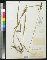 Holotype of Paspalum jalisconum Chase, A. 1913 [family POACEAE]