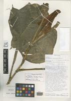 Isotype of Philodendron standleyi Grayum, M.H. 1992 [family ARACEAE]