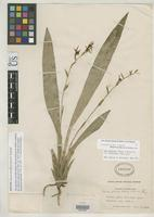 Filed as Brassia parviflora Ames, O. & Schweinfurth, C. 1925 [family ORCHIDACEAE]