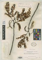 Isotype of Stryphnodendron levelii Cowan, R.S. 1958 [family FABACEAE]