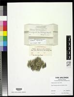 Holotype of Cladonia leporina f. fissa Evans, A.W. 1952 [family CLADONIACEAE]
