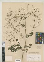 Holotype of Thalictrum jalapense Rose, J.N. 1903 [family RANUNCULACEAE]