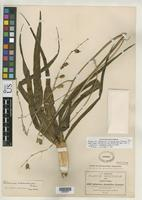 Isotype of Anthericum platyphyllum Greenman, J.M. 1898 [family LILIACEAE]