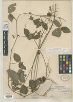 Isotype of Meibomia andina Rusby, H.H. 1893 [family FABACEAE]