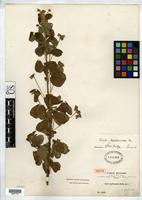 Isotype of Oxalis erythropoda Rusby, H.H. 1896 [family OXALIDACEAE]