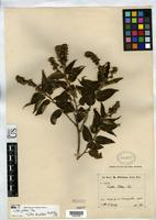 Isotype of Croton pittieri Pax, F.A. 1900 [family EUPHORBIACEAE]