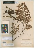 Isotype of Leucaena oaxacana Britton, N.L. & Rose, J.N. 1928 [family FABACEAE]