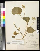 Holotype of Phaseolus flavescens Piper, C.V. 1926 [family FABACEAE]