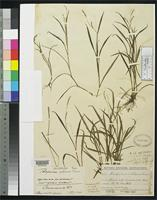 Holotype of Paspalum petilum Chase, A. 1937 [family POACEAE]