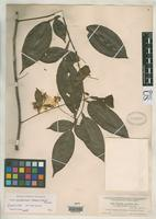 Isotype of Swartzia myrtifolia var. guatemalensis Donnell Smith, J. 1902 [family FABACEAE]