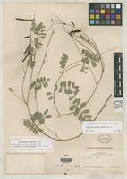 Holotype of Benthamantha painteri Rydberg, P.A. 1924 [family FABACEAE]