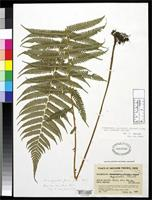 Filed as Dryopteris esquirolii f. parva Ching, R.C. 1936 [family DRYOPTERIDACEAE]