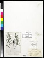 Filed as Polypodium pseudofraternum Smith, A.C. 1931 [family POLYPODIACEAE]