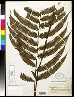 Holotype of Dryopteris crassiuscula Christensen, C.F.A. & Maxon, W.R. 1933 [family DRYOPTERIDACEAE]