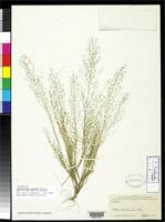 Isotype of Muhlenbergia sinuosa Swallen, J.R. 1947 [family POACEAE]