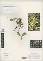 Isotype of Prunus gentryi f. flavipulpa Laferriere, J.E. 1989 [family ROSACEAE]