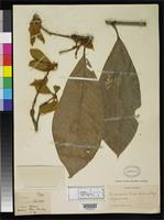 Isotype of Quercus rex Hemsley, W.B. 1900 [family FAGACEAE]