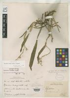 Syntype of Epidendrum henrici Schlechter, F.R.R. 1908 [family ORCHIDACEAE]