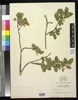 Isotype of Amelanchier elliptica Nelson, A. 1905 [family ROSACEAE]